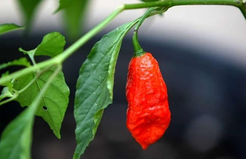 ترکیبات گیاهی موجود در فلفل قرمز