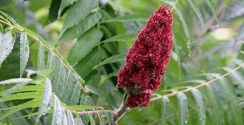 معرفی کامل گیاه سماق